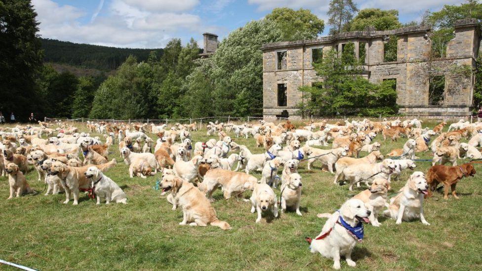 mass gathering of golden retrievers in highlands jayne s blog