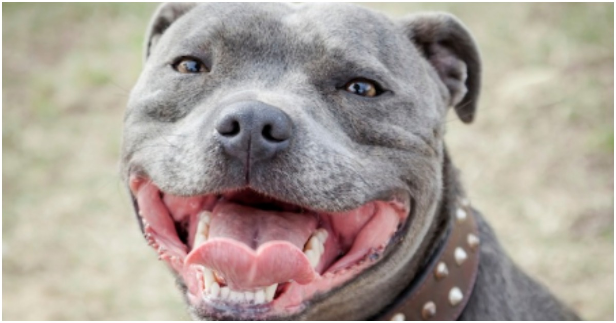 how long till staffy's are banned? | Yahoo Answers